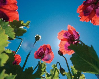 plakat POPPIES - SKY