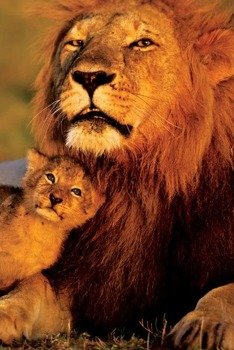 plakat LION AND CUB