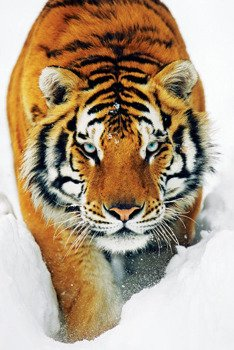 plakat TIGER SNOW